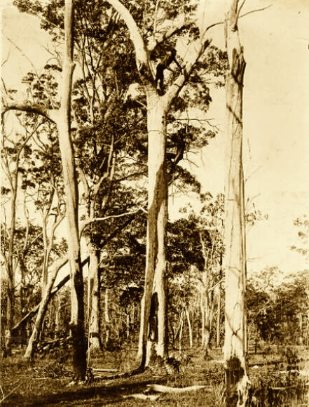 """Aborigines of the Port Stephens area"" (Tree climbing) 1900. Newcastle Region Library"