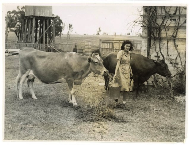 Betty Browning Milking Cows at Singleton Native Workers Training College c1950. SLNSW