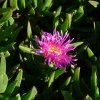 Pigface eaten by children along the waterways of Botany Bay
