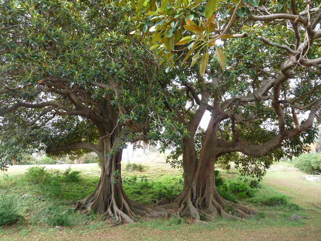 Berries of the Moreton Bay Fig tree are eaten by Koories