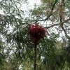 Gymea Lily for nectar